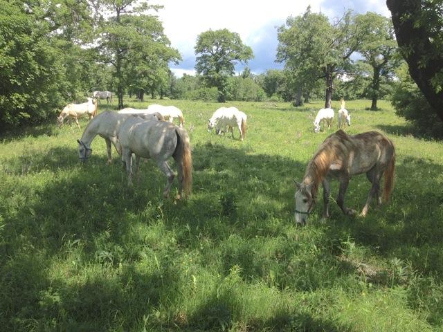 lipica stud farm