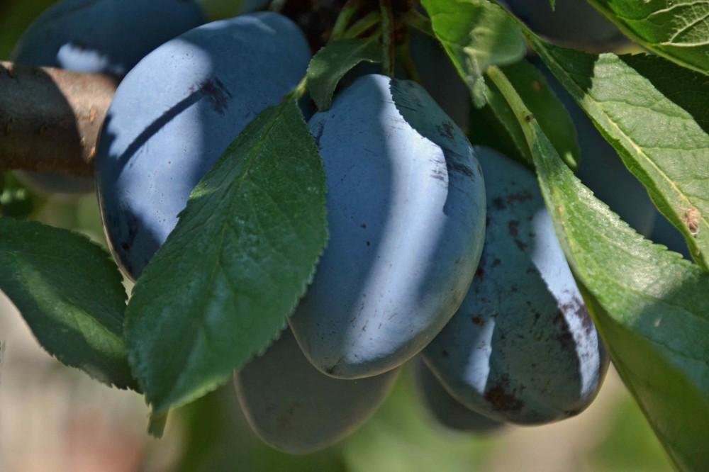 la ricetta della domenica | gli gnocchi di susini della anto